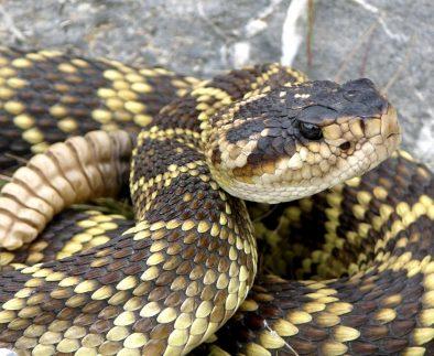 Incrementar investigaciones sobre serpientes, indispensable para la protección ambiental en México, Investigador de la UAA