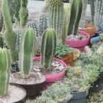 Presentan Avances en Estudios Biotecnológicos Sobre las Cactáceas de Aguascalientes y Zacatecas