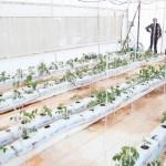 Buscan Reproducción en Invernadero de Especies de Jitomate No Comerciales