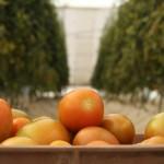 Se realiza en la UAA investigación sobre 18 variedades de tomates in vitro