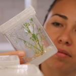 Realiza UAA trabajo de investigación para propagar planta con propiedades medicinales y nutricionales