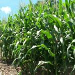 UAA investiga productividad de grano  de maíz y rastrojo en la entidad, además de su valor nutritivo