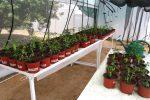 Investigación de la UAA logra injertos entre plantas de papa y chile