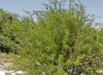 Investigación de la UAA revela que a través de excretas de animales, la Sierra Fría está recuperando parte de su flora